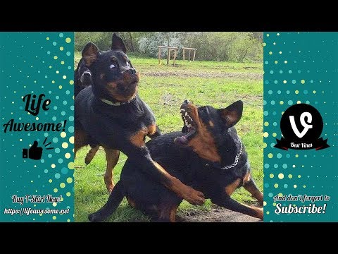 Try Not To Laugh Watching Funny Dog Video Compilation 2018 | Funny Animals Video