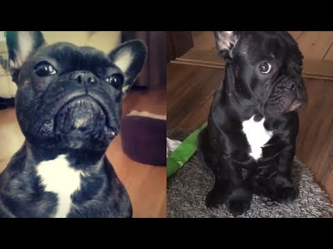 Funny and Cute French Bulldog compilation 2018   Funny dog videos try not to laugh #34