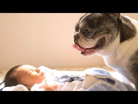 Funny Dogs Meet Newborn For The First Time – Cute Dogs Video