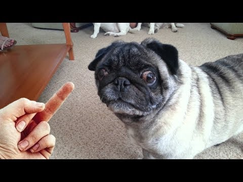 Dog Really Hates Middle Finger – Compilation NEW