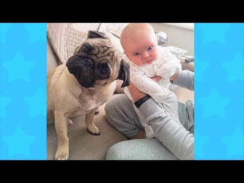 Adorable Pug Dogs and Babies | Funny Dogs loves Baby Videos
