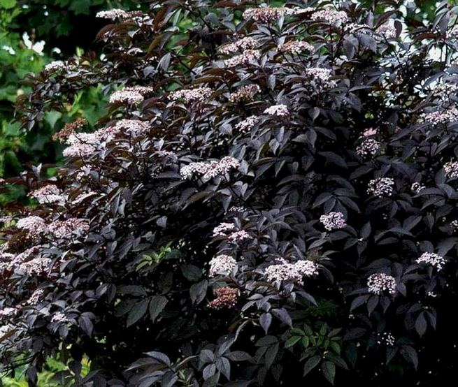 19 Superb Black Plants And Flowers That Add Drama For An Awesome Black Garden 10