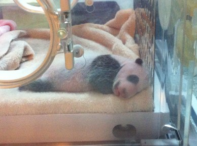 BABY PANDA! Can I have one?