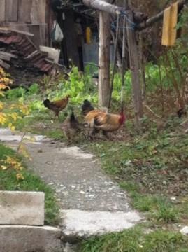 Zhou Ma's chickens.