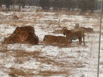 Tigers nibbling on... something.