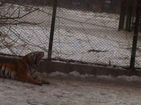 Really, this tiger's head is mostly teeth.