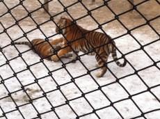 Tigers at play.