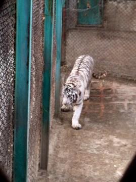 White Siberian tiger, pacing.