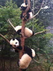 Tree o' panda babies.