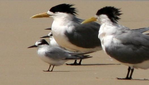 دراسة توثيقية لطائر الخرشنة