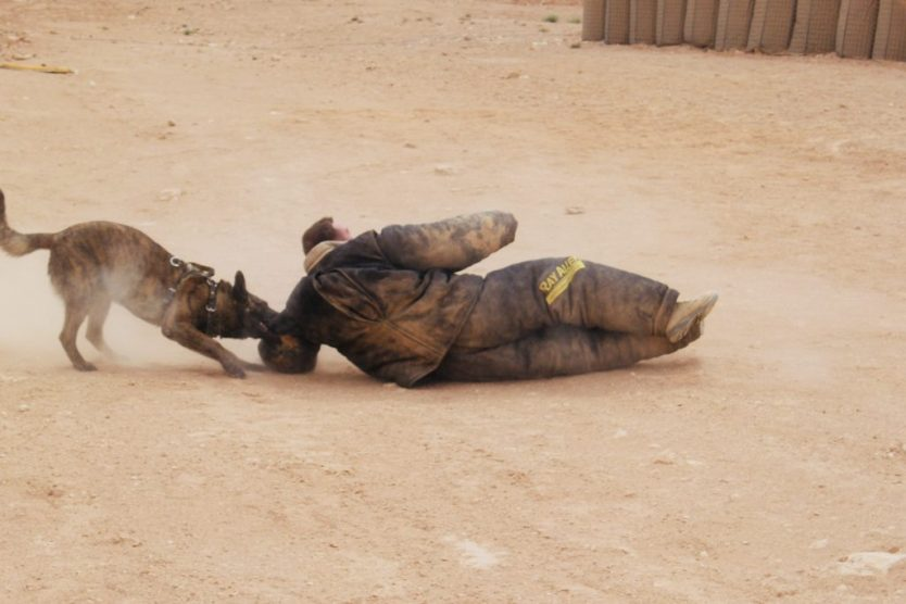 Marine becomes chew toy for military working dog