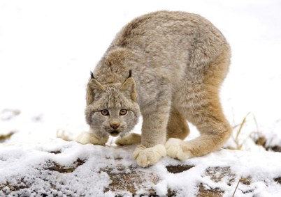 animals in the snow_ (17)