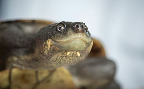 bellinger-river-snapping-turtle-93690e8f-1be3-4981-baac-70d9f4d9895-resize-750.jpg