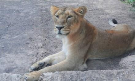 Terra Natura Benidorm rep a tres lleones asiàtiques