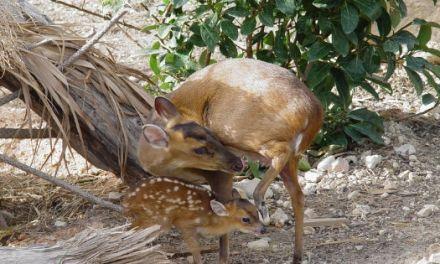 La familia de Terra Natura Benidorm crece con el nacimiento de una cría de muntjak