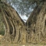 El Ayuntamiento de Orihuela elabora un catálogo de Árboles Monumentales y Singulares de Interés Local