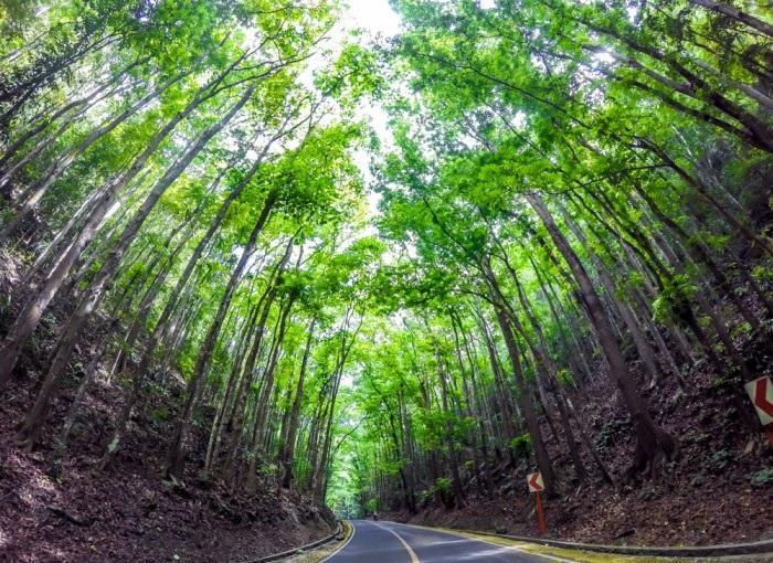 Loboc man-made forest1