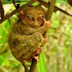 Philippine tarsier and wildlife sanctuary corella, bohol, philippines! 006