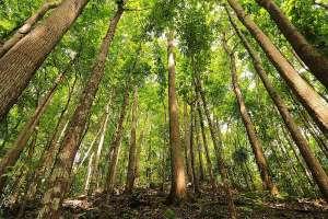 Loboc bilar man made forest bohol philippines tourist attraction 0005