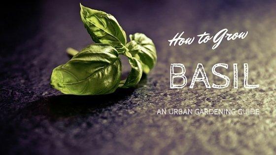 How To Grow Basil Urban Gardening Guide