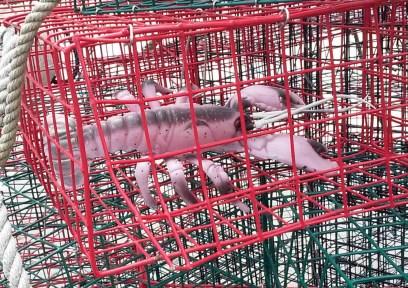 lobster trap freedom