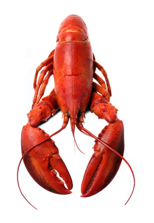 whole Maine lobster cooked
