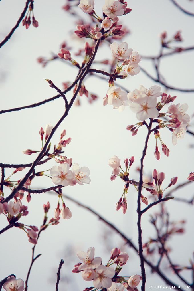 Cherry Blossoms in Atlanta.