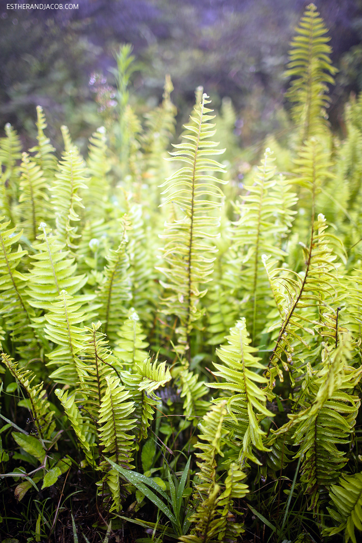 Ferns on the Sierra Negra Volcano Hike on Isabela Island Galapagos.