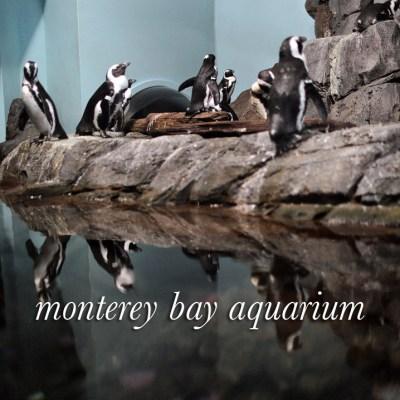 African Black Footed Penguins at the Monterey Bay Aquarium California.