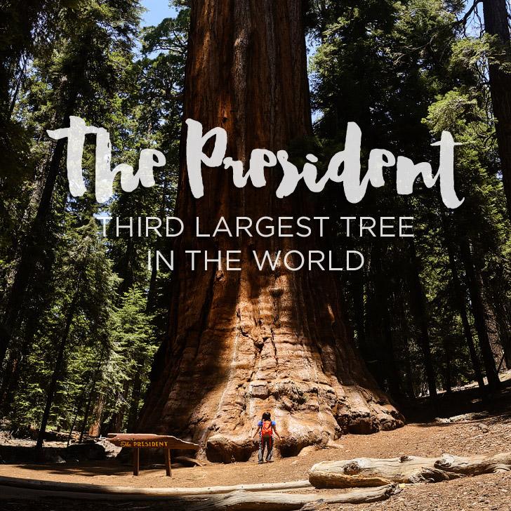 The President Tree
