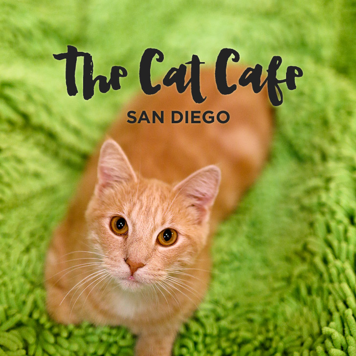 Cuddly Cats and Coffee at the Cat Cafe San Diego.