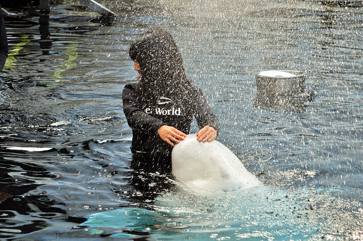 Beluga Whale Encounter at SeaWorld San Diego.