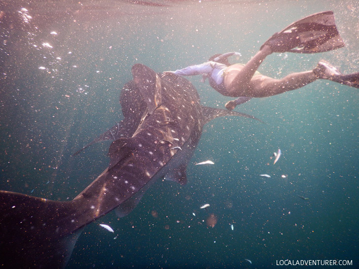 Snorkel with Whale Sharks Derawan Island Indonesia.