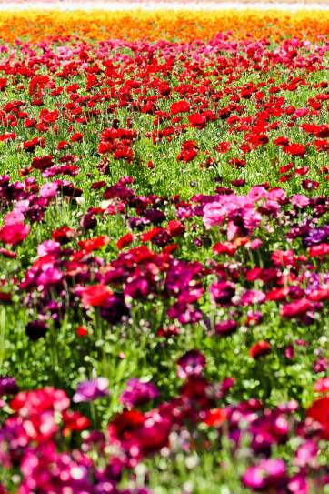 It's the Perfect Time to Visit the Flower Fields at Carlsbad Ranch. See them before the flower season ends! // localadventurer.com