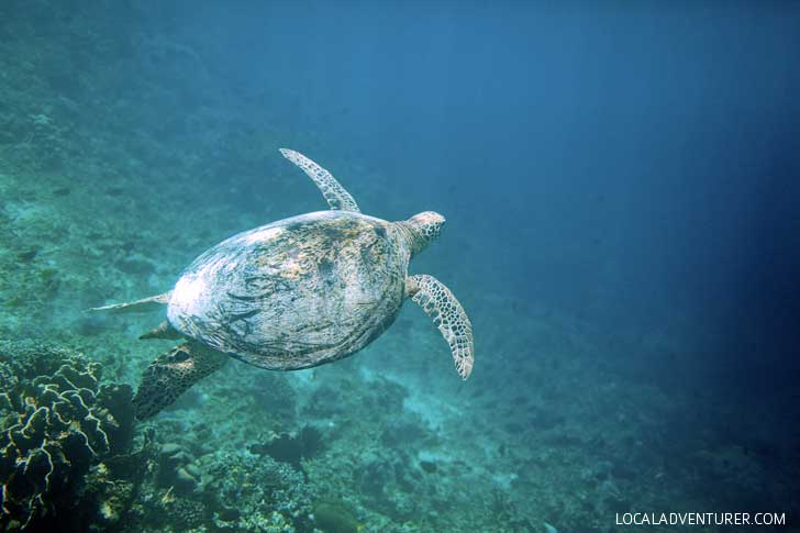 Hawksbill Sea Turtle - Snorkeling with Sea Turtles in Derawan Islands Indonesia // localadventurer.com