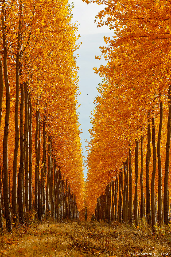 Portland Oregon Fall Had Wallpaper Last Chance To See The Autumn Colors Of The Boardman Tree Farm