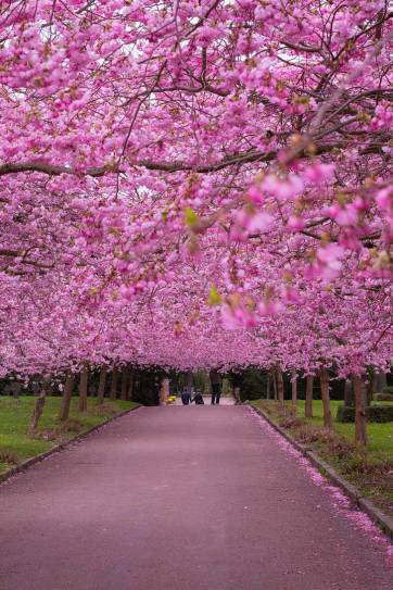 Copenhagen, Denmark - Copenhagen Sakura Festival - Where to See Cherry Blossoms in the World - Over 200 cherry trees were planted in Langelinie Park // localadventurer.com