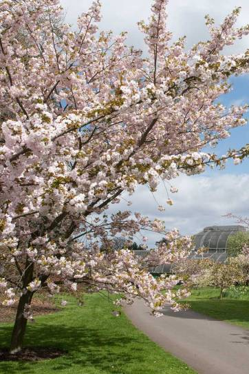London England (pc: Kew on Flicker) - Cherry Blossoms London - Today you can expect to find the pink blossoms of Prunus Kanzan and Prunus Asano as well as the white blooms of Prunus Taihaku // localadventurer.com