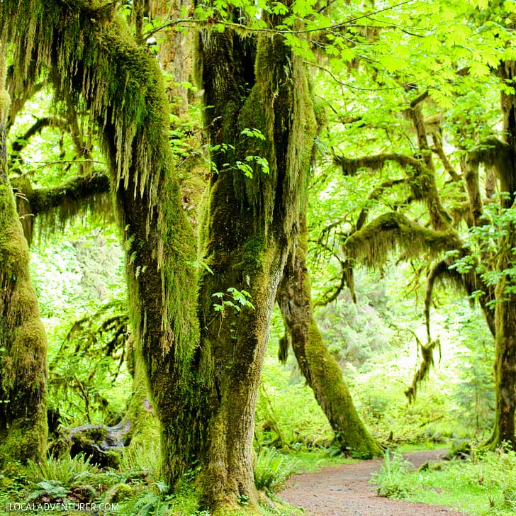 Hall of Mosses, Olympic National Park + 15 Amazing Places to Visit Near Portland Oregon // localadventurer.com