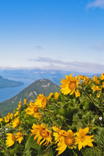 Dog Mountain Washington Hikes - Best WIldflower Hikes Near Portland Oregon // localadventurer.com