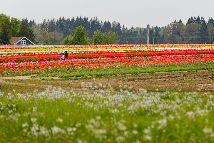 Essential Tips for Visiting the Wooden Shoe Tulip Farm - 30-40 minutes south of Portland Oregon // Local Adventurer