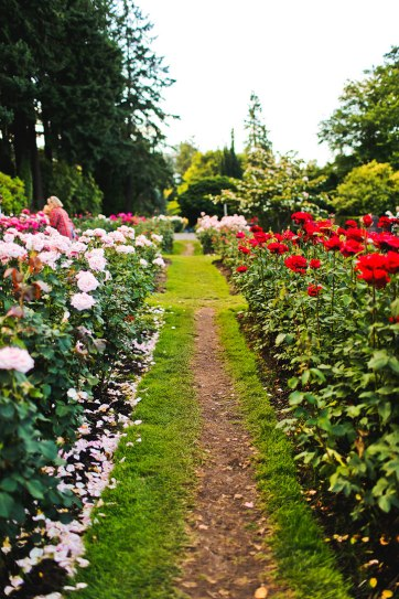 Where to Find Roses in Portland Oregon aka Rose City.