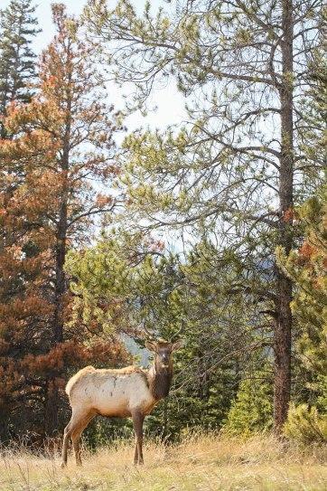 B2 elk jasper national park wildlife - 15 Unforgettable Things to Do in Jasper National Park