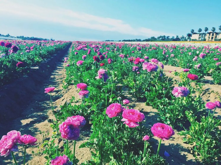 Flower Fields Carlsbad_2