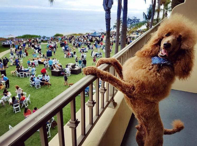 Yappy Hour Dog on Balcony_Photo Credit @StevetheRedPoodle