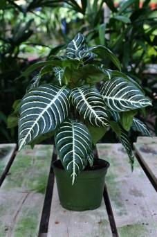 Zebra_Plant1