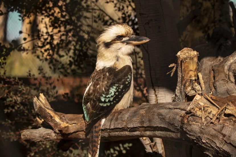 Kookaburra_The Living Desert