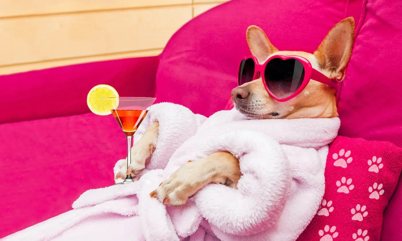 chihuahua dog relaxing and lying, in spa wellness center ,wearing a bathrobe and funny sunglasses , martini cocktail included