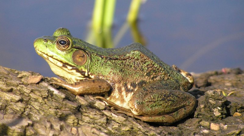 frogs nature