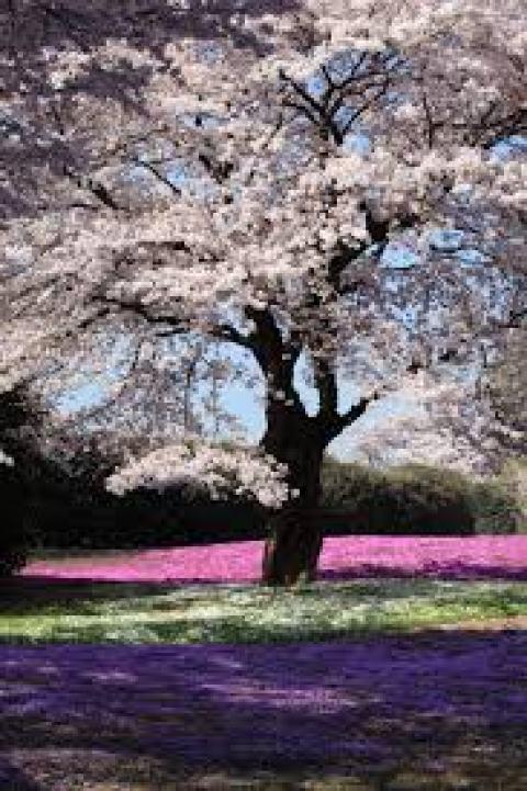 sakura-tree